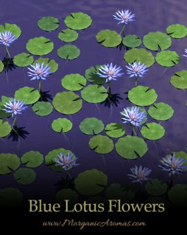 Blue Lotus Flowers - SpecialTeas