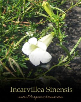 Incarvillea Sinensis - SpecialTeas