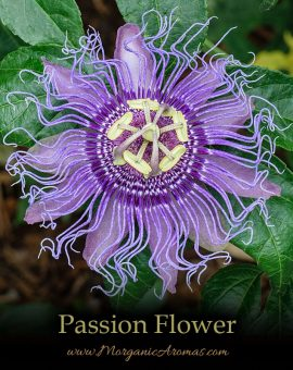 Passion Flower - SpecialTeas
